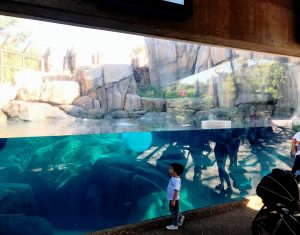 Lincoln Park Polar Bear Underwater 1