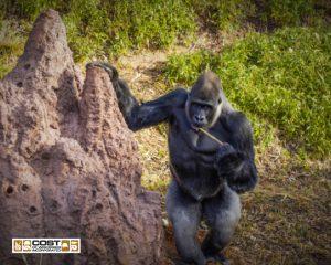 Cenzoo gorilla